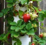 Vertically grown strawberries